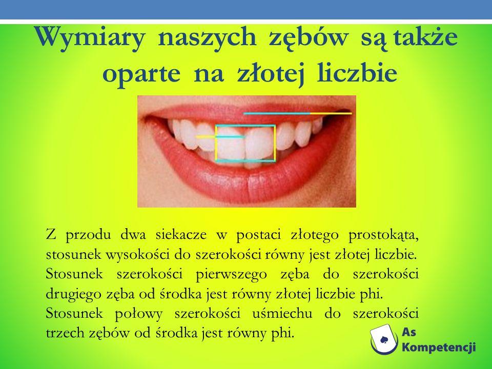 Wymiary naszych zębów są także oparte na złotej liczbie