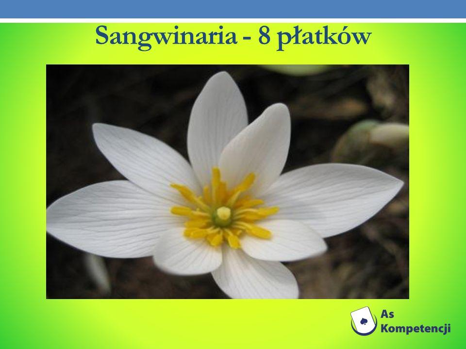 Sangwinaria - 8 płatków