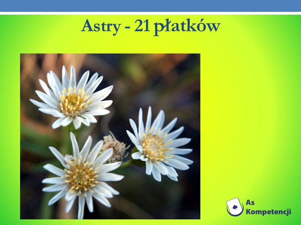 Astry - 21 płatków