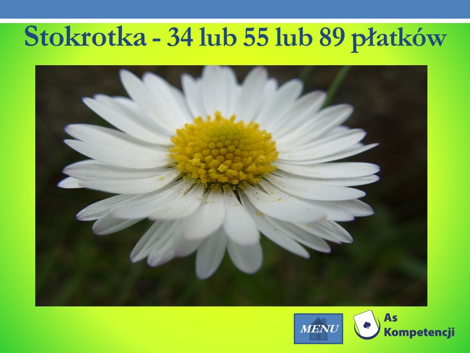 Stokrotka - 34 lub 55 lub 89 płatków