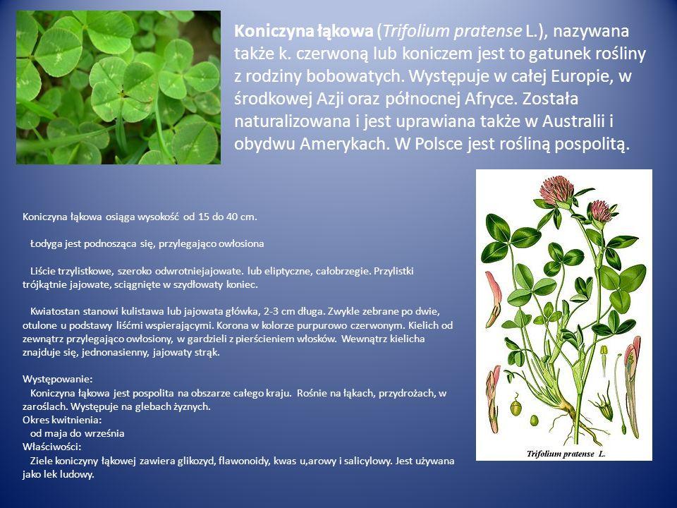 Koniczyna łąkowa (Trifolium pratense L. ), nazywana także k