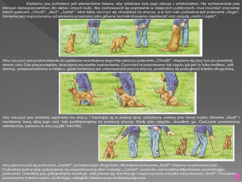 """Każdemu psu potrzebna jest elementarna tresura, aby właściwe były jego relacje z właścicielem. Nie wytresowanie pies stanowi niebezpieczeństwo dla siebie i innych ludzi. Aby zachowywał się poprawnie w miejscach publicznych, musi rozumieć znaczenie trzech poleceń: """"Chodź , """"Siad , """"Zostań . Musi także nauczyć się chodzenia na smyczy, a w tym celu potrzebne jest polecenie """"Noga . Szkolenie psa rozpoczynamy od szkolenia szczeniaka; jako główne techniki stosujemy cierpliwość oraz zasadę """"mało i często ."""