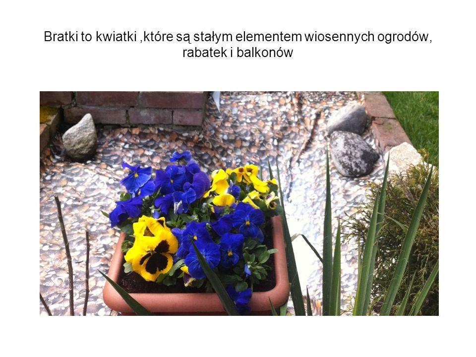 Bratki to kwiatki ,które są stałym elementem wiosennych ogrodów, rabatek i balkonów
