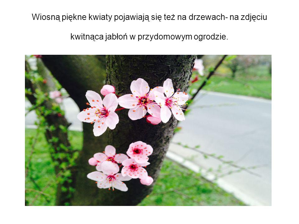 Wiosną piękne kwiaty pojawiają się też na drzewach- na zdjęciu kwitnąca jabłoń w przydomowym ogrodzie.