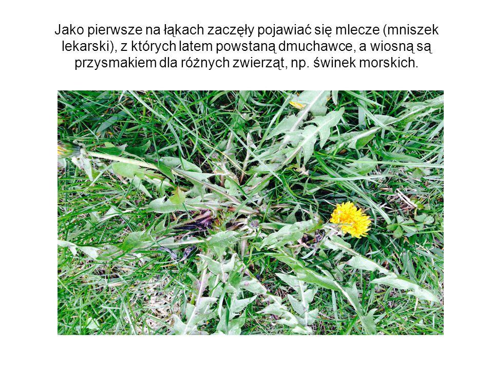 Jako pierwsze na łąkach zaczęły pojawiać się mlecze (mniszek lekarski), z których latem powstaną dmuchawce, a wiosną są przysmakiem dla różnych zwierząt, np.