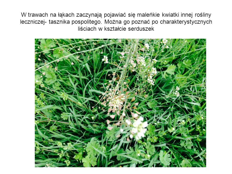 W trawach na łąkach zaczynają pojawiać się maleńkie kwiatki innej rośliny leczniczej- tasznika pospolitego.