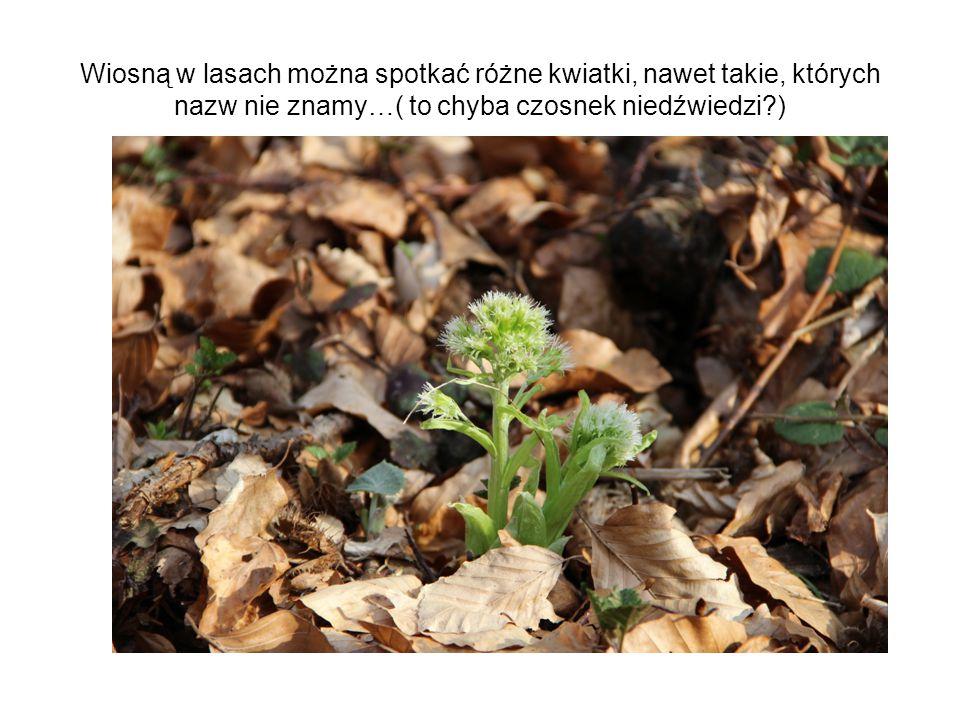 Wiosną w lasach można spotkać różne kwiatki, nawet takie, których nazw nie znamy…( to chyba czosnek niedźwiedzi )
