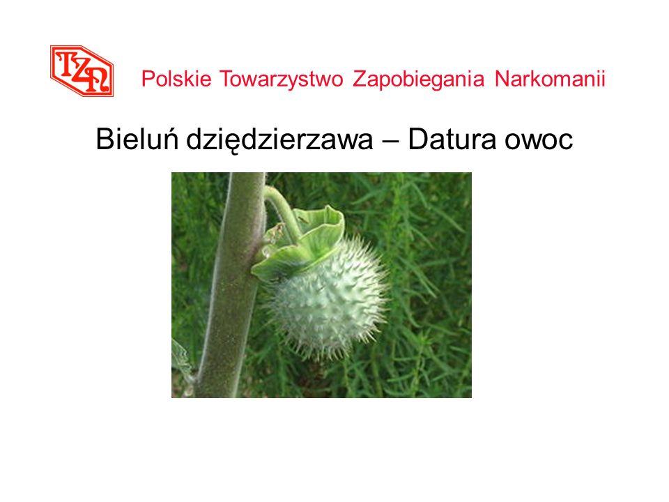 Bieluń dziędzierzawa – Datura owoc