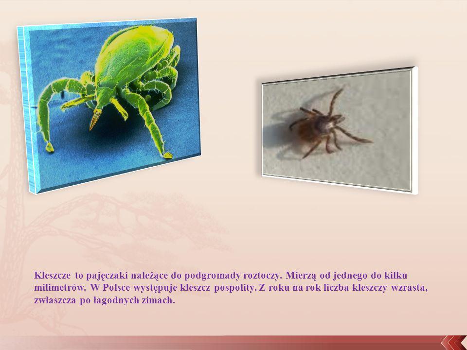 Kleszcze to pajęczaki należące do podgromady roztoczy
