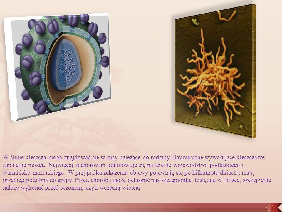 W ślinie kleszcza mogą znajdować się wirusy należące do rodziny Flavivirydae wywołujące kleszczowe zapalenie mózgu.