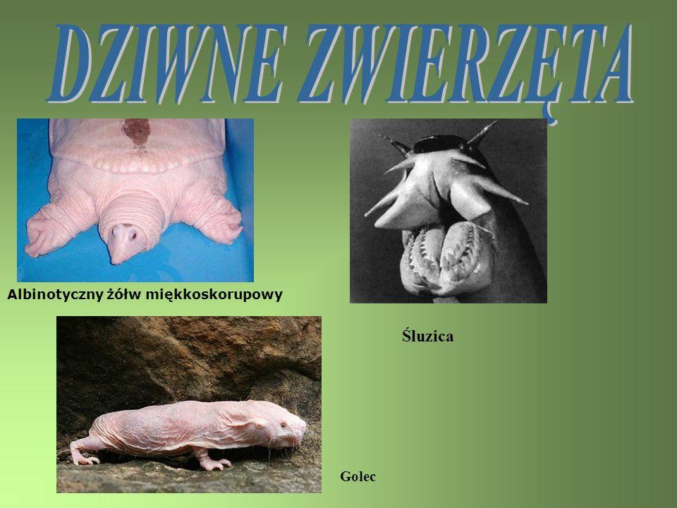 DZIWNE ZWIERZĘTA Albinotyczny żółw miękkoskorupowy Śluzica Golec