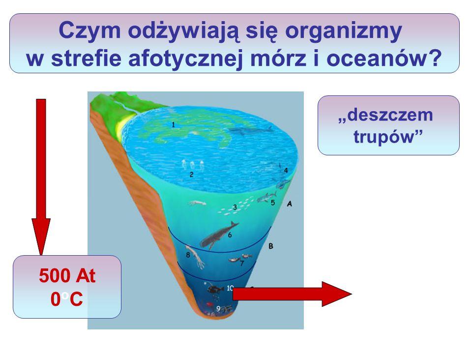 Czym odżywiają się organizmy w strefie afotycznej mórz i oceanów