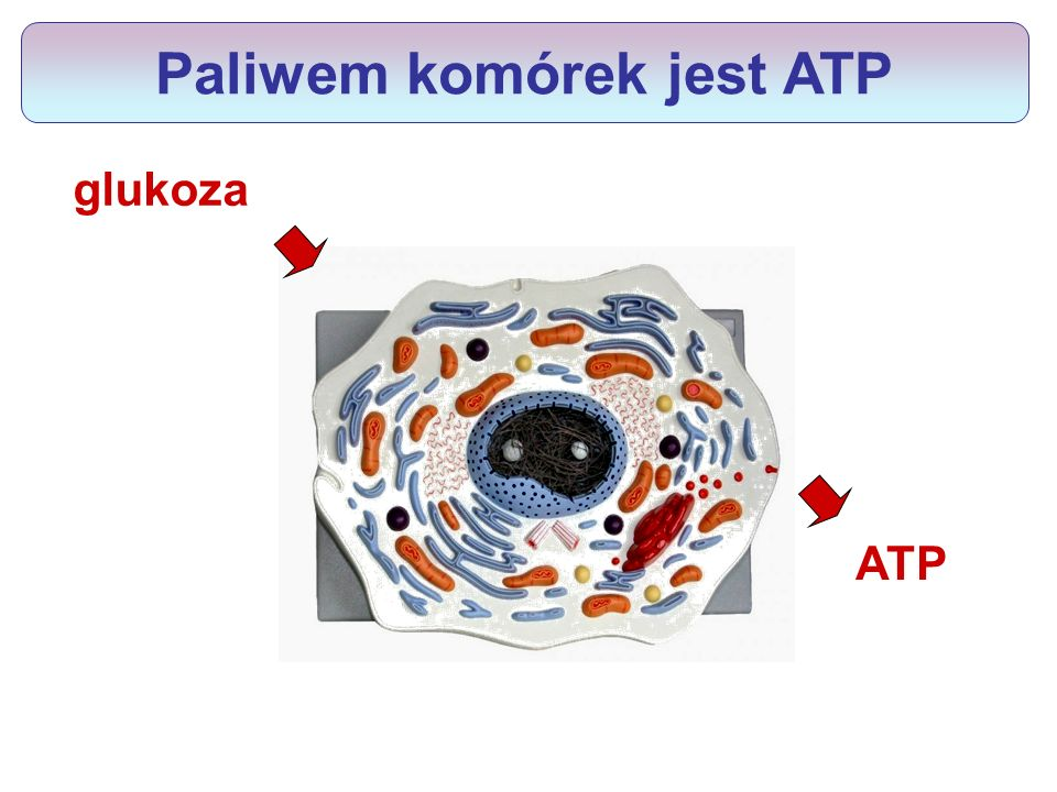 Paliwem komórek jest ATP