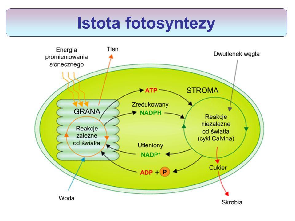 Istota fotosyntezy