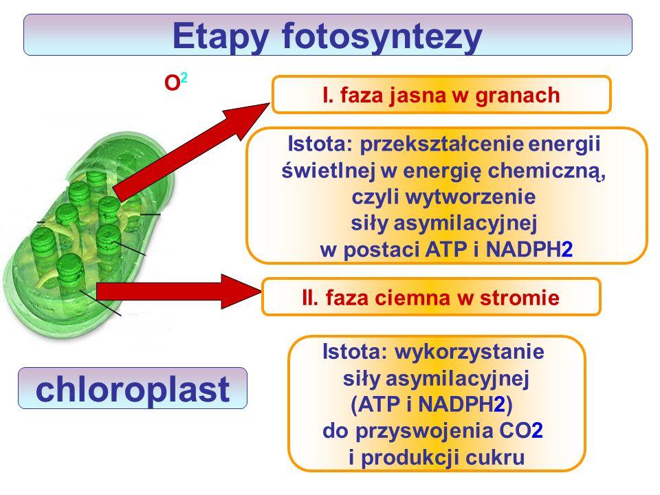 Etapy fotosyntezy chloroplast
