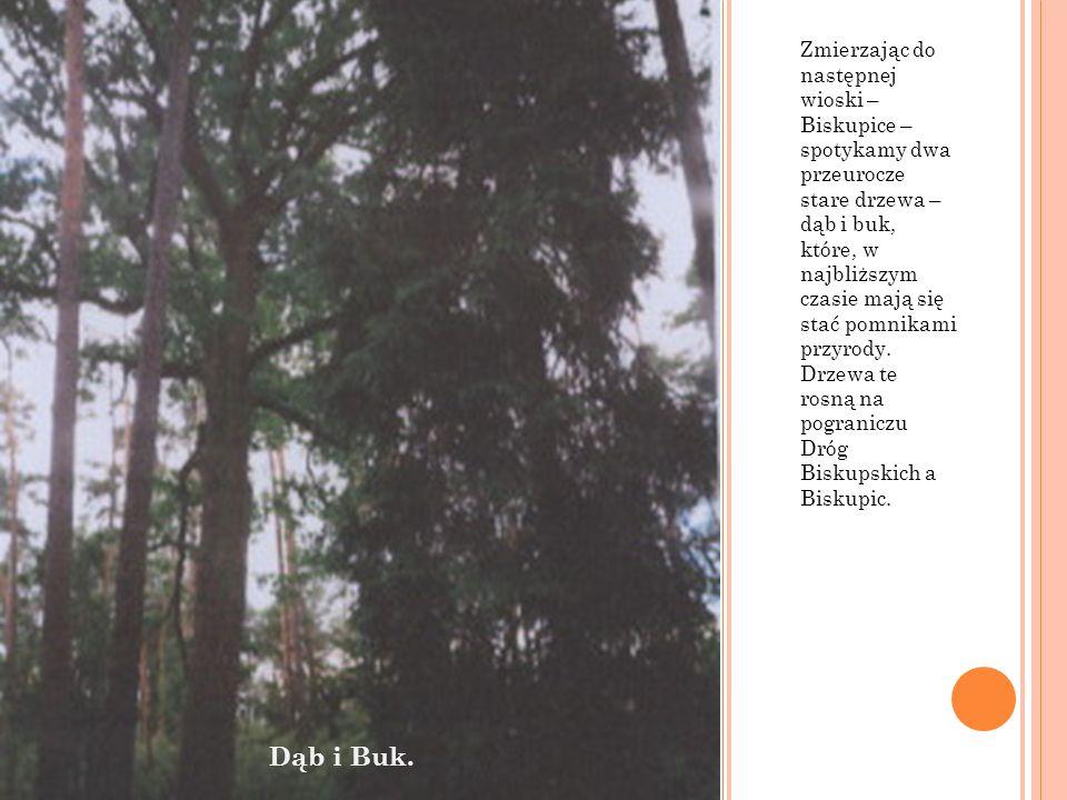 Zmierzając do następnej wioski – Biskupice – spotykamy dwa przeurocze stare drzewa – dąb i buk, które, w najbliższym czasie mają się stać pomnikami przyrody. Drzewa te rosną na pograniczu Dróg Biskupskich a Biskupic.
