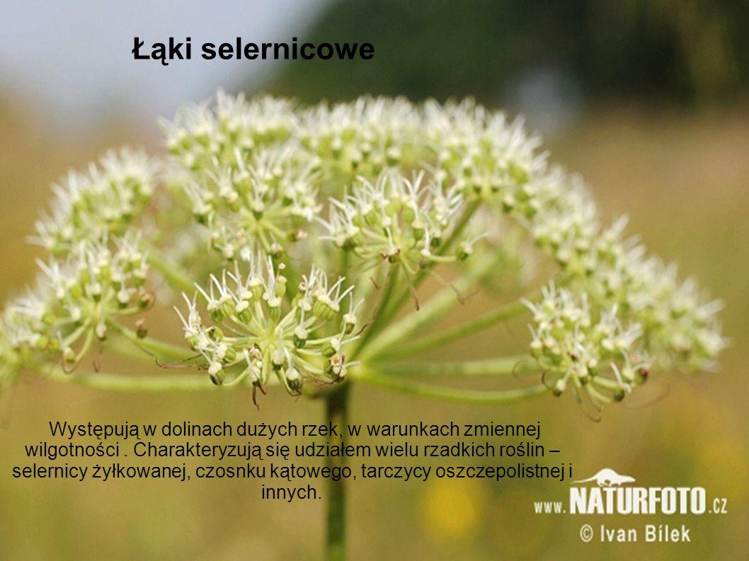 Łąki selernicowe