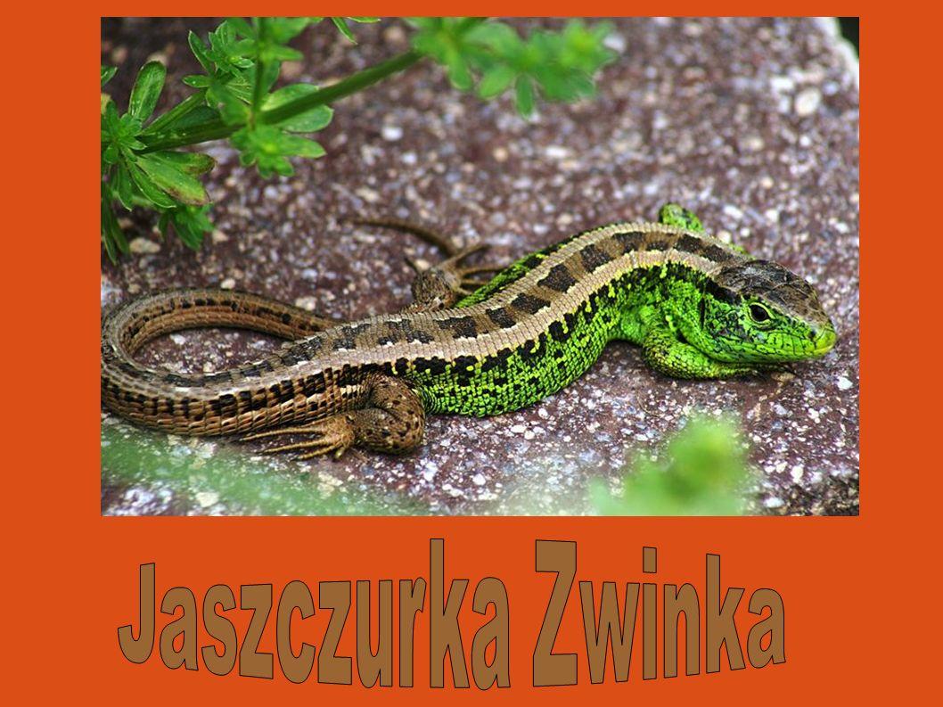Jaszczurka zwinka Jaszczurka Zwinka 24