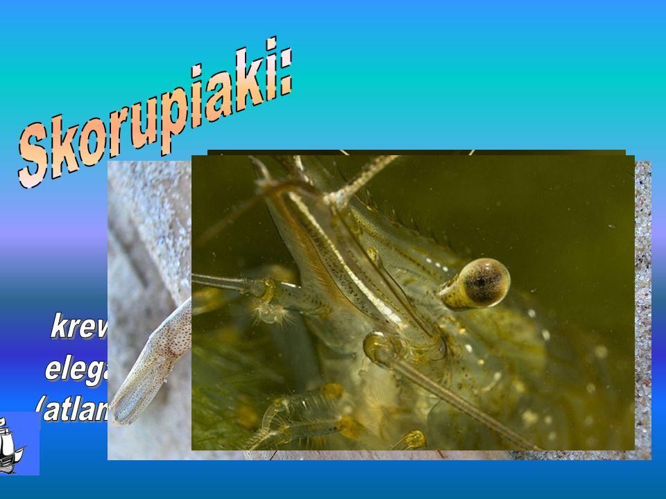 Skorupiaki: krewetka elegancka (atlantycka)