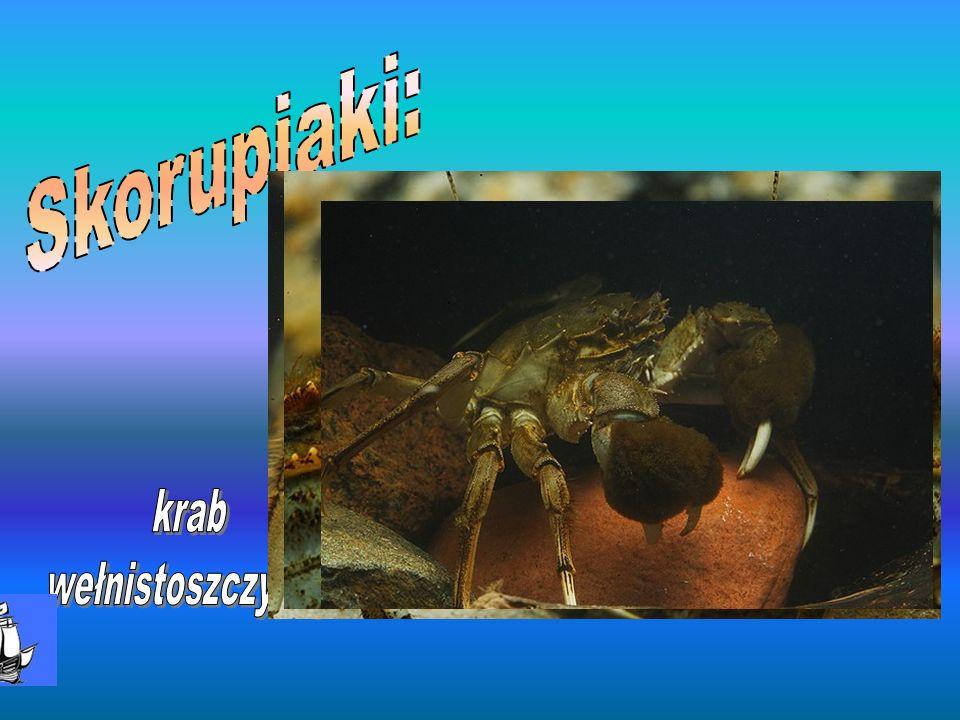 Skorupiaki: krab wełnistoszczypcy