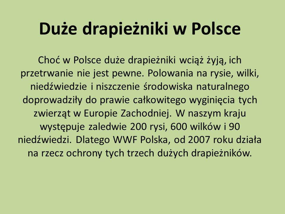 Duże drapieżniki w Polsce Choć w Polsce duże drapieżniki wciąż żyją, ich przetrwanie nie jest pewne.