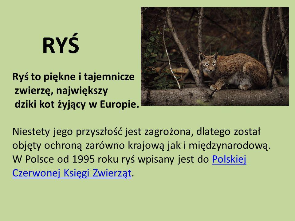 RYŚ Ryś to piękne i tajemnicze zwierzę, największy dziki kot żyjący w Europie.