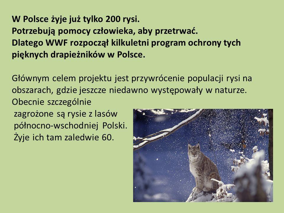 W Polsce żyje już tylko 200 rysi