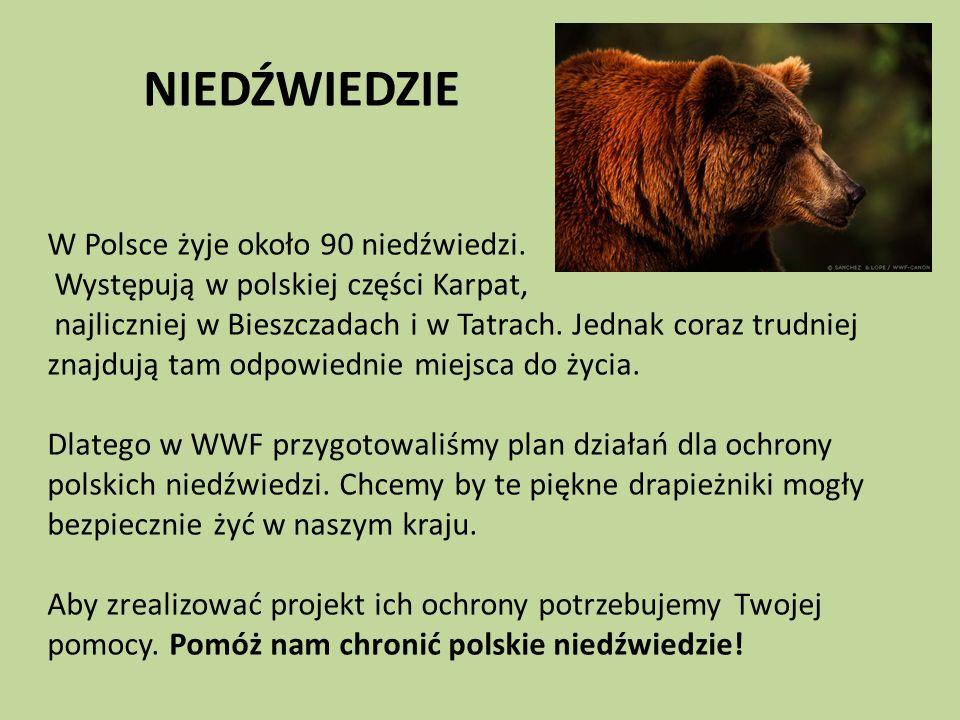NIEDŹWIEDZIE W Polsce żyje około 90 niedźwiedzi