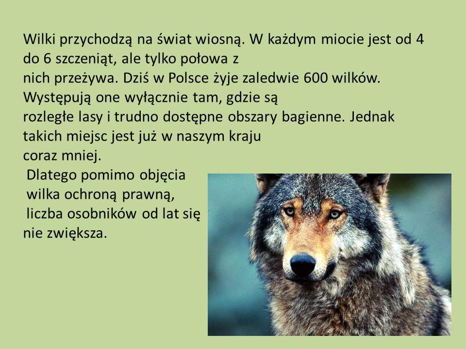Wilki przychodzą na świat wiosną