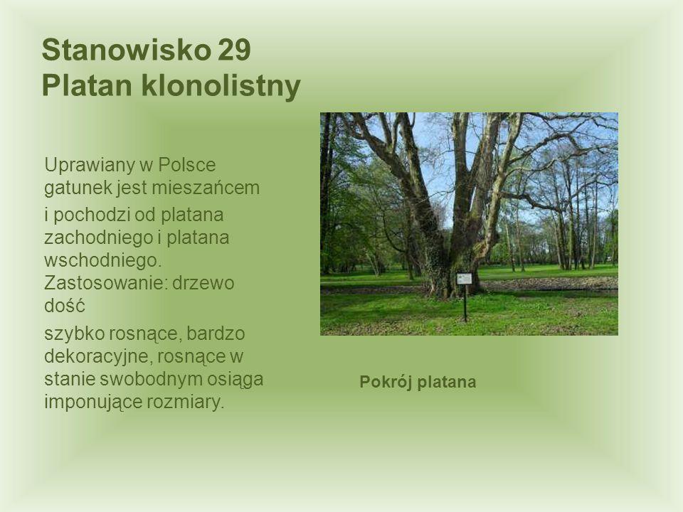 Stanowisko 29 Platan klonolistny