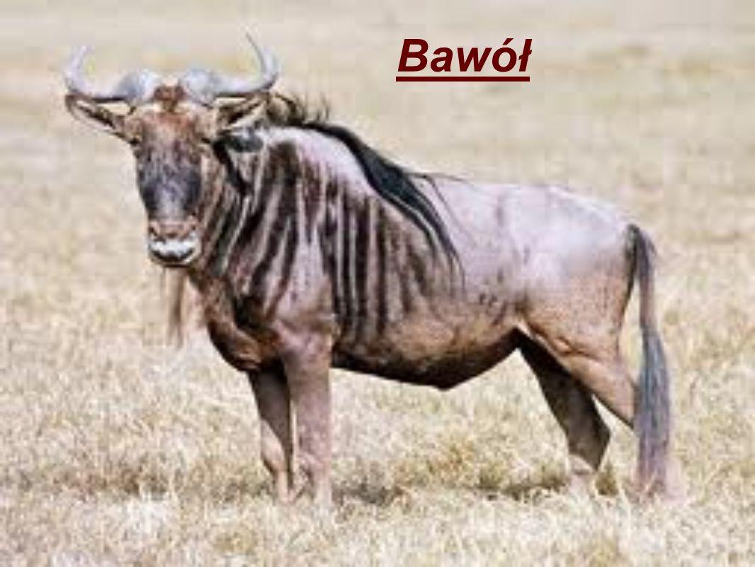 Bawół