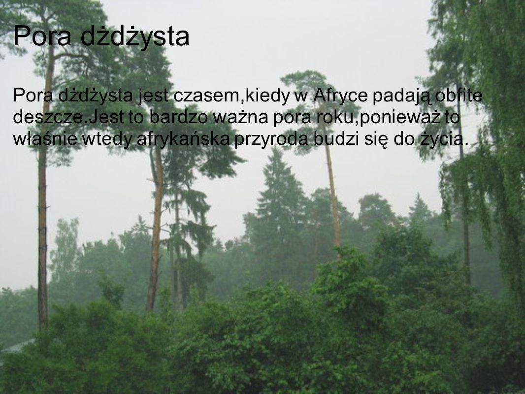 Pora dżdżysta Pora dżdżysta jest czasem,kiedy w Afryce padają obfite deszcze.Jest to bardzo ważna pora roku,ponieważ to właśnie wtedy afrykańska przyroda budzi się do życia.