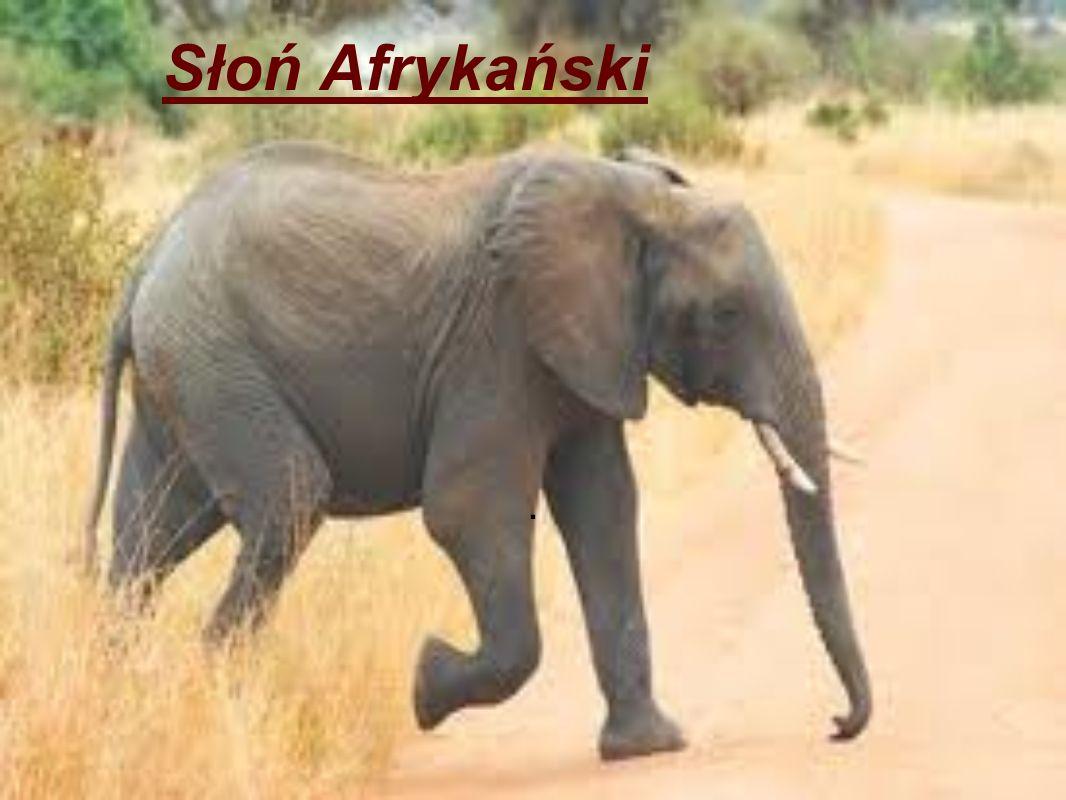 Słoń Afrykański .