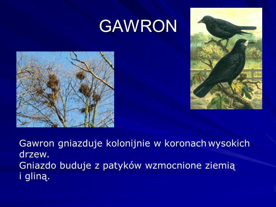 GAWRON Gawron gniazduje kolonijnie w koronach wysokich drzew.