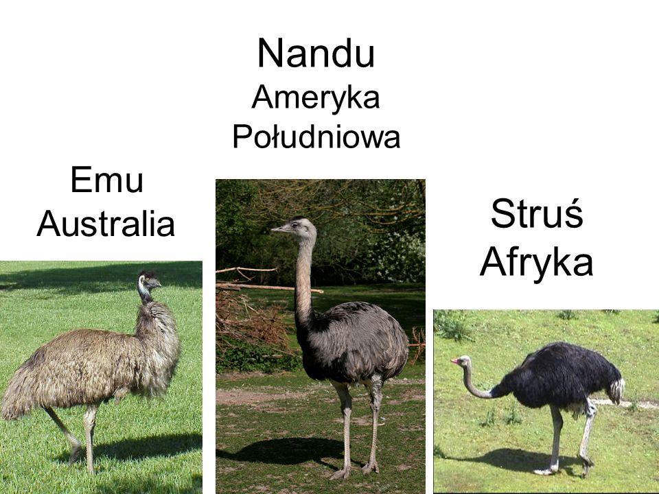 Nandu Ameryka Południowa