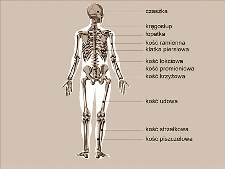 Szkielet: Szkielet człowieka można podzielić na dwie części: