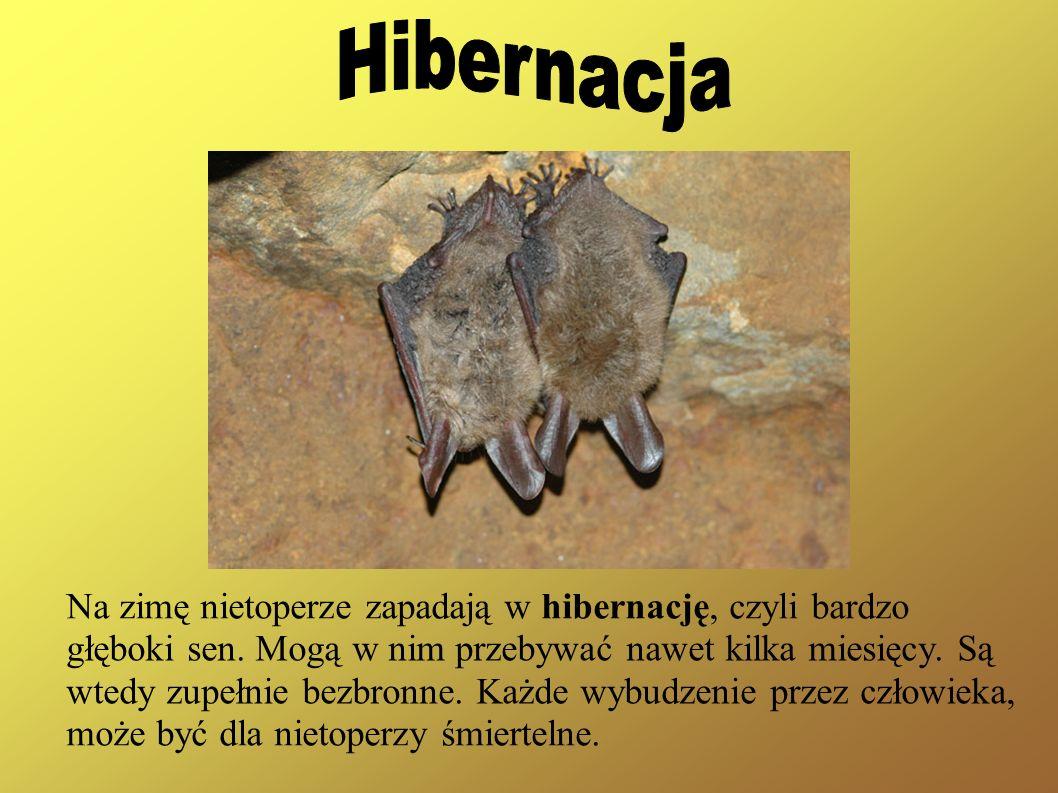 Hibernacja