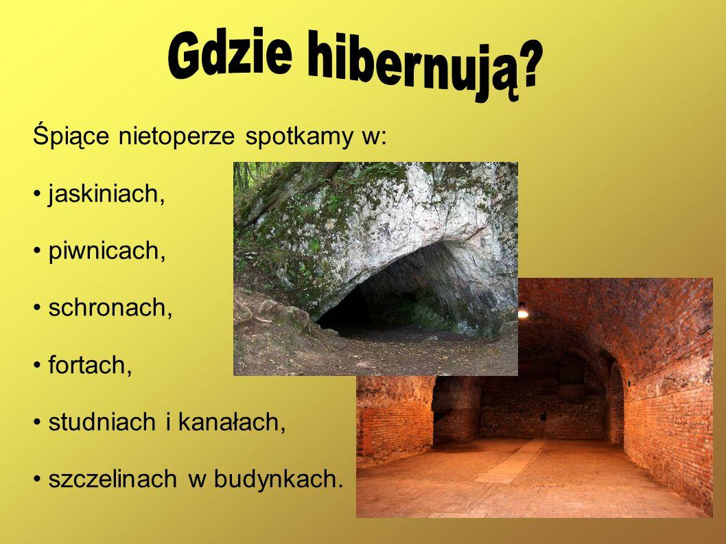 Gdzie hibernują Śpiące nietoperze spotkamy w: • jaskiniach,