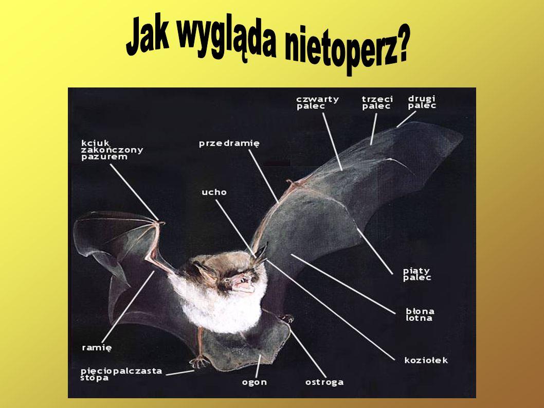 Jak wygląda nietoperz