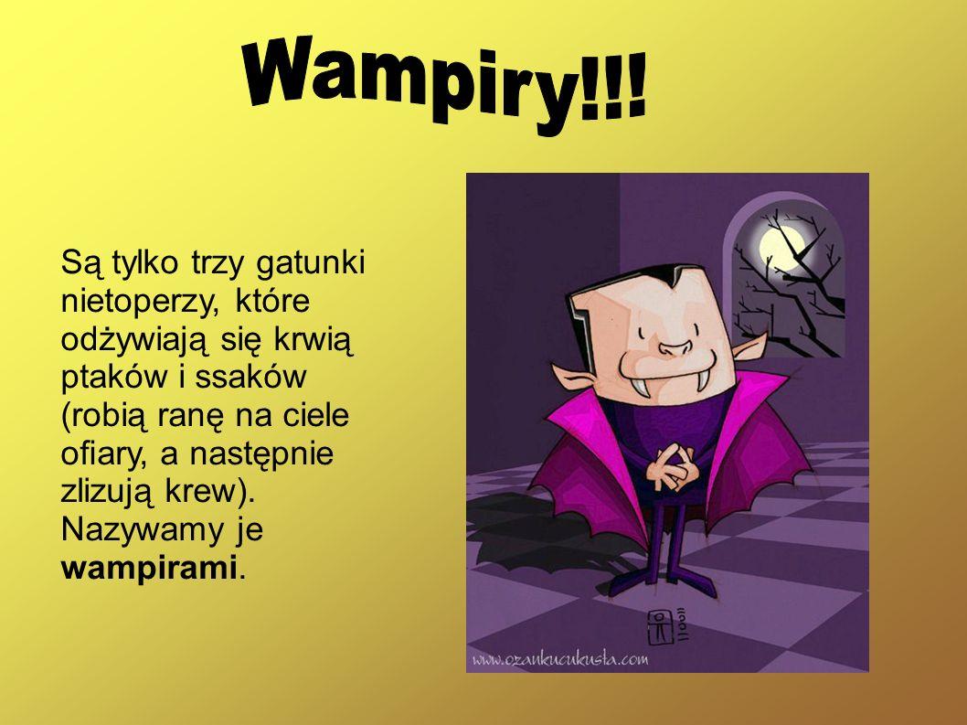 Wampiry!!! Są tylko trzy gatunki nietoperzy, które odżywiają się krwią