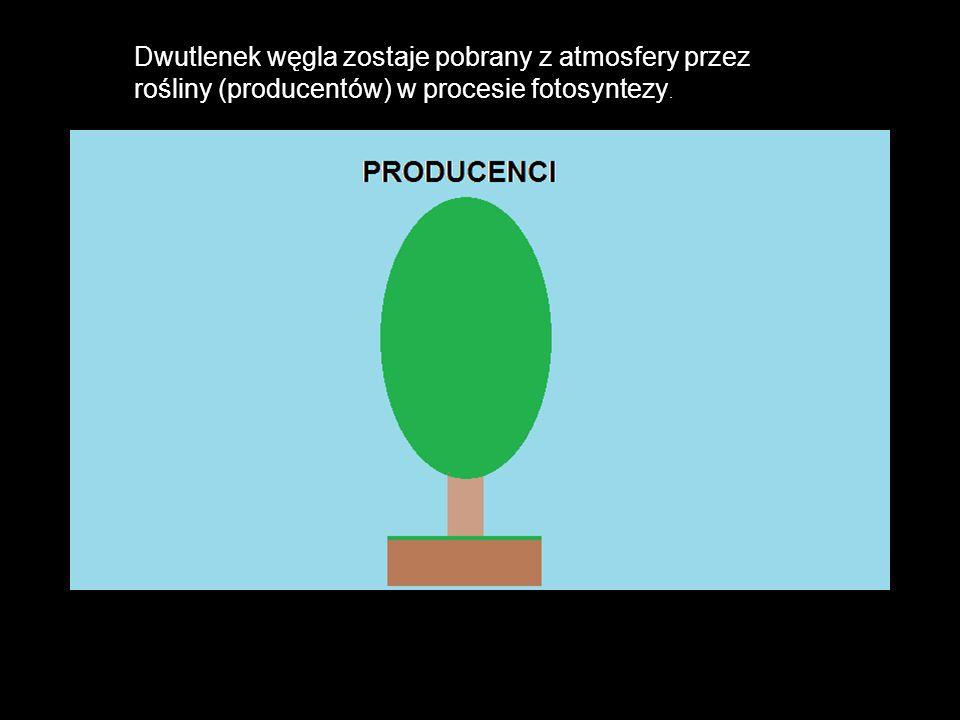 Dwutlenek węgla zostaje pobrany z atmosfery przez rośliny (producentów) w procesie fotosyntezy.