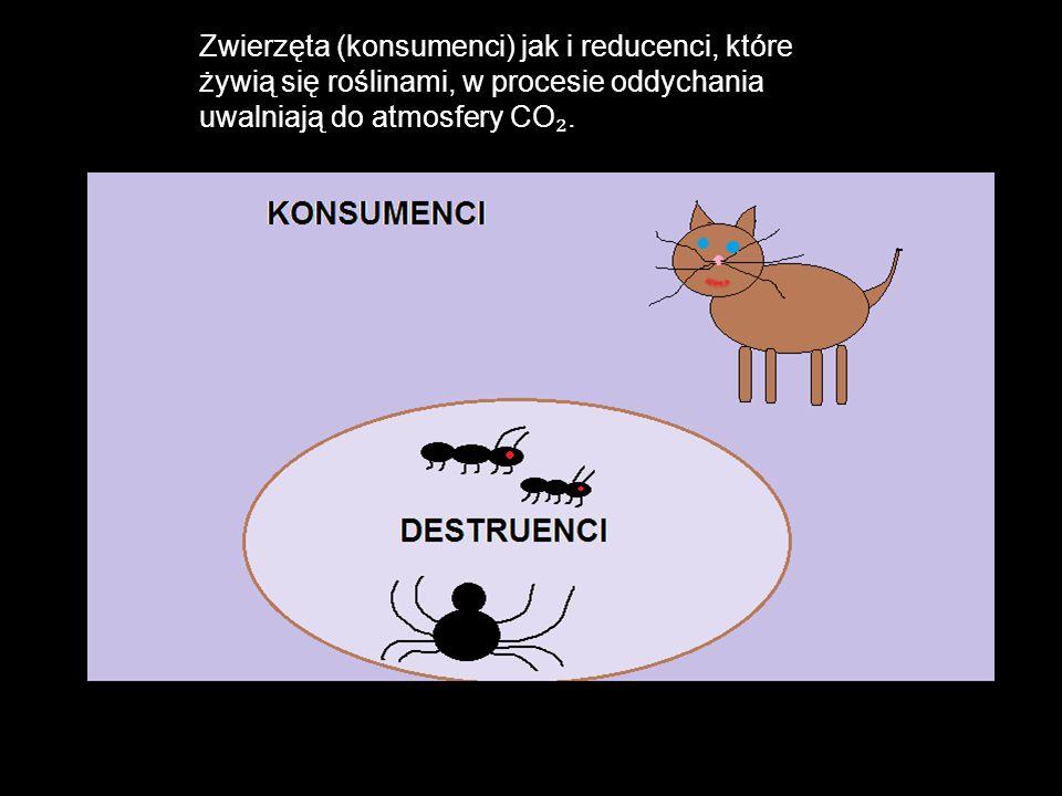 Zwierzęta (konsumenci) jak i reducenci, które żywią się roślinami, w procesie oddychania uwalniają do atmosfery CO₂.