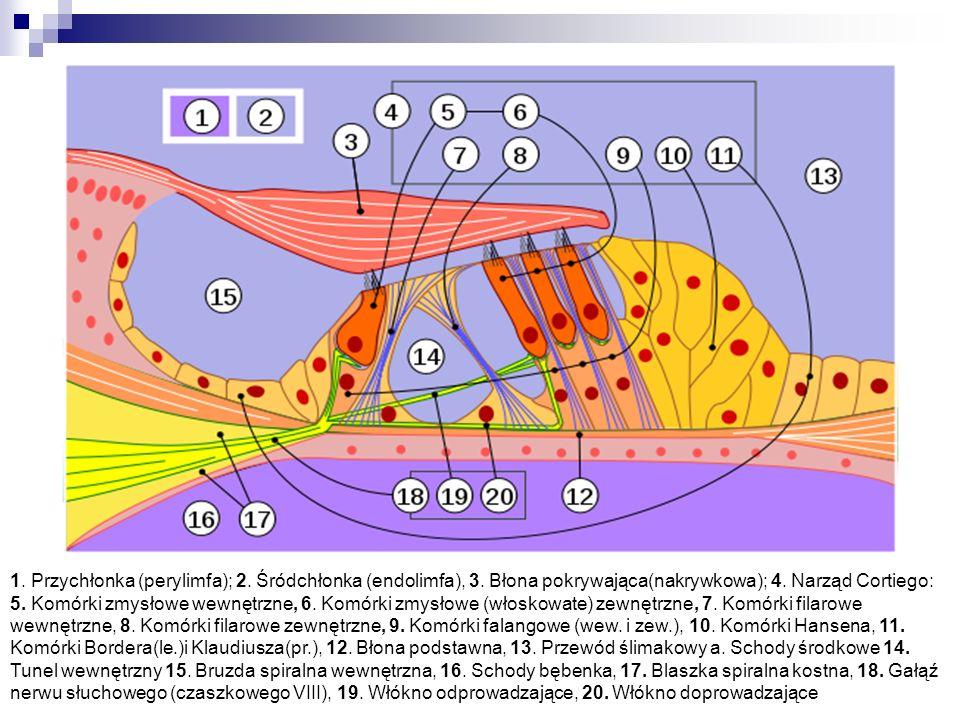 1. Przychłonka (perylimfa); 2. Śródchłonka (endolimfa), 3