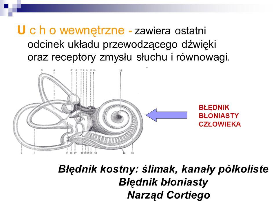 U c h o wewnętrzne - zawiera ostatni odcinek układu przewodzącego dźwięki oraz receptory zmysłu słuchu i równowagi.