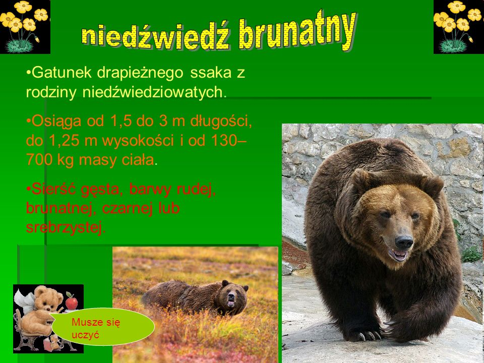 niedźwiedź brunatnyGatunek drapieżnego ssaka z rodziny niedźwiedziowatych.
