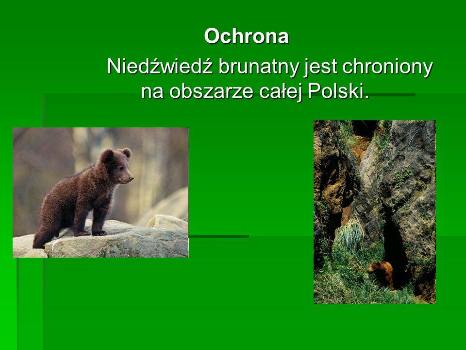 Niedźwiedź brunatny jest chroniony na obszarze całej Polski.