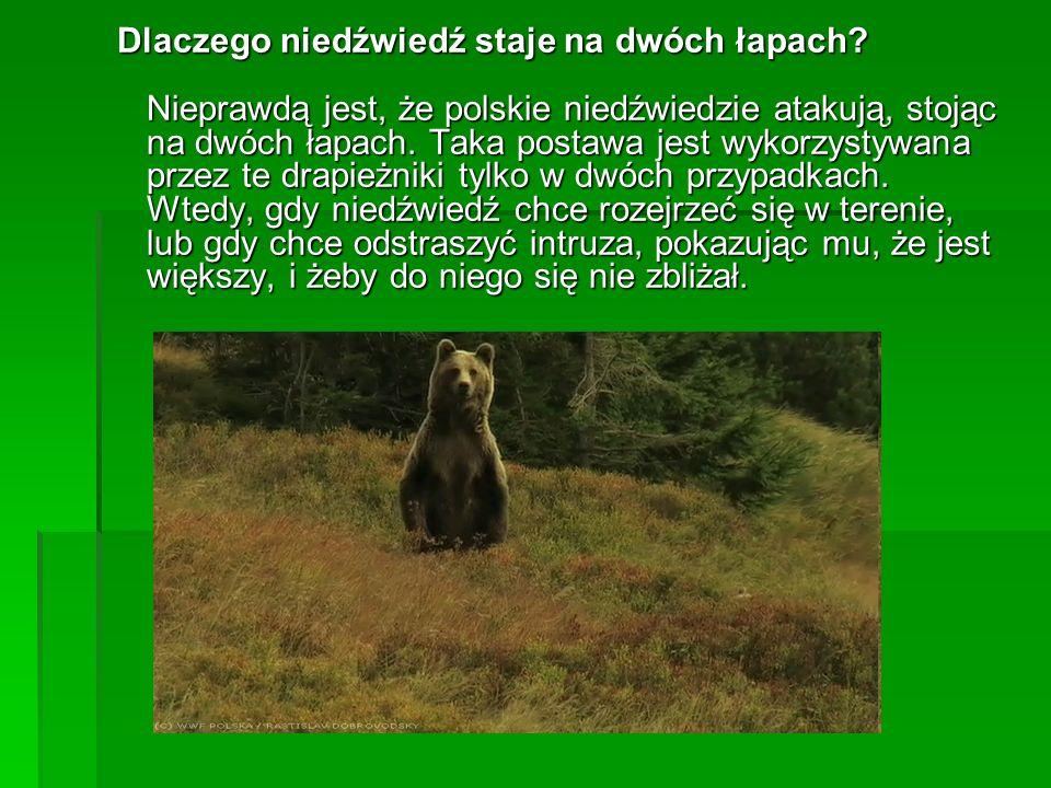 Dlaczego niedźwiedź staje na dwóch łapach