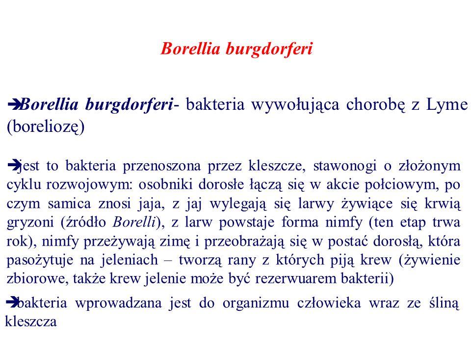 Borellia burgdorferi Borellia burgdorferi- bakteria wywołująca chorobę z Lyme (boreliozę)