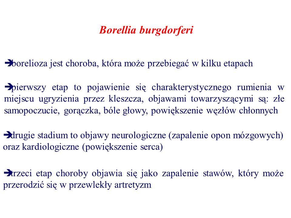 Borellia burgdorferi borelioza jest choroba, która może przebiegać w kilku etapach.