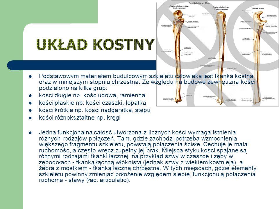 Podstawowym materiałem budulcowym szkieletu człowieka jest tkanka kostna oraz w mniejszym stopniu chrzęstna. Ze względu na budowę zewnętrzną kości podzielono na kilka grup: